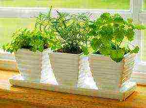 Как вырастить петрушку на гидропонике и сколько она растет