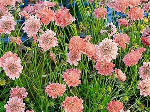 Цветы скабиоза