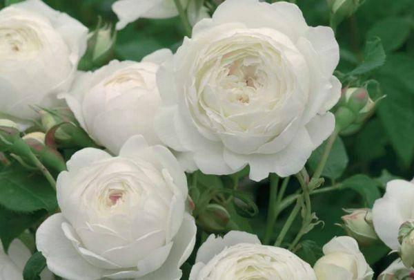 Пионовидные розы — обзор сортов и особенности выращивания