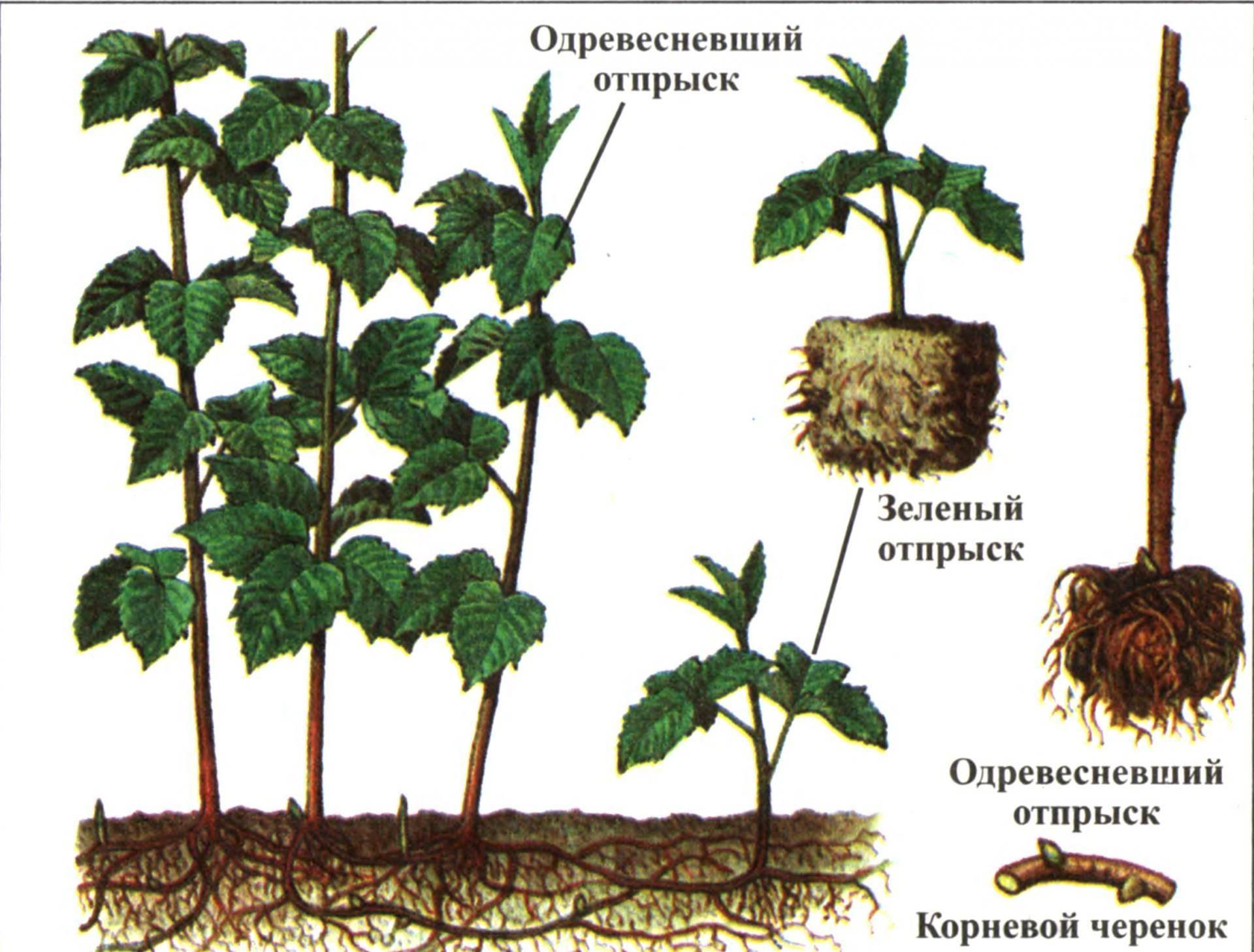 О размножении малины весной зелёными черенками