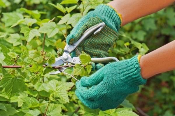 Обрезка черной смородины весной для начинающих в картинках пошагово