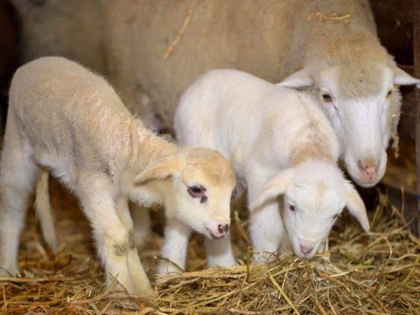 Сколько ждать окота суягной овцы и как проходят роды в домашних условиях