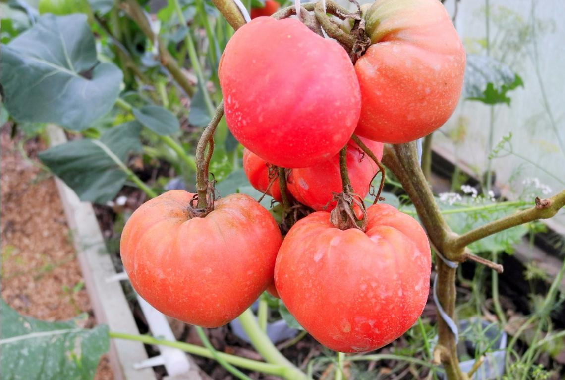 Чёрный мавр: помидор оригинальной раскраски и прекрасного вкуса