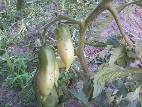 Томат «алые свечи»: особенности выращивания и уход