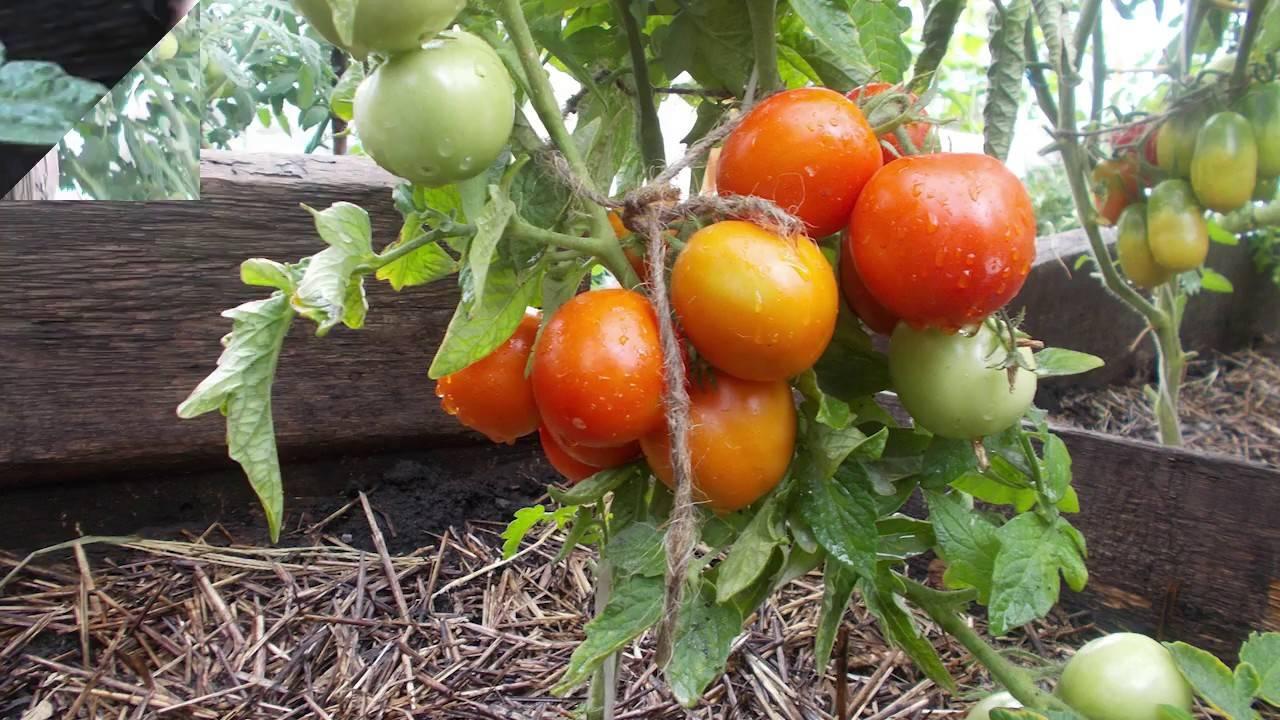 Описание сорта томата Ерофеич розовый, особенности выращивания и ухода