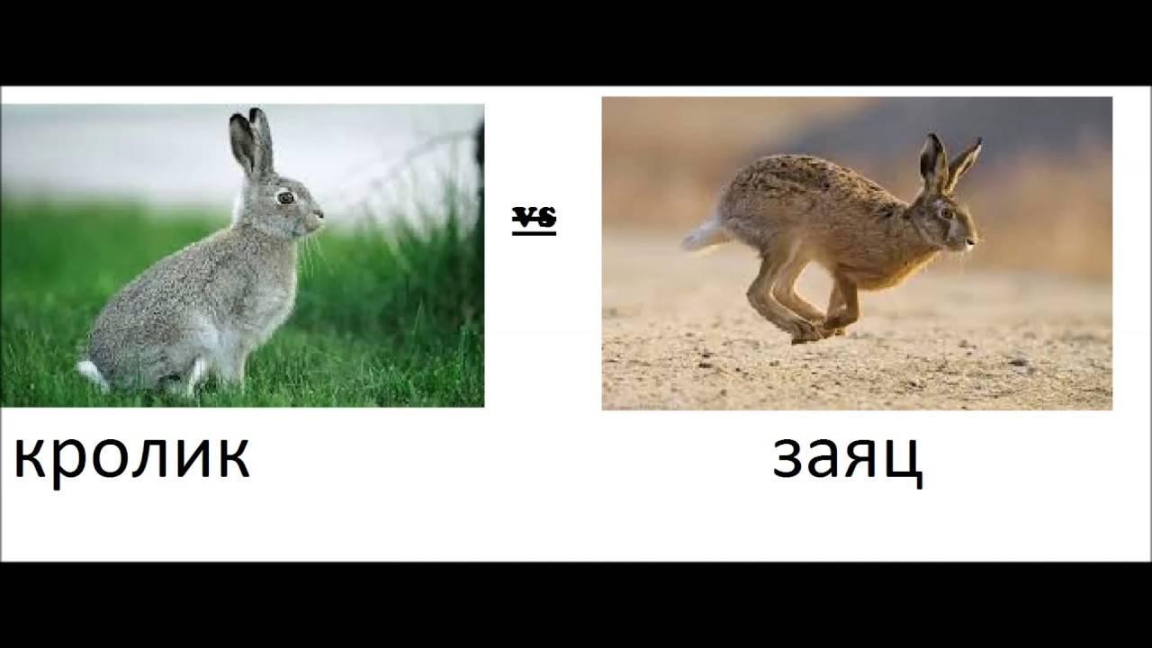 Отличие зайца от кролика