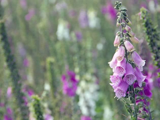 Наперстянка: посадка и уход в открытом грунте, выращивание из семян