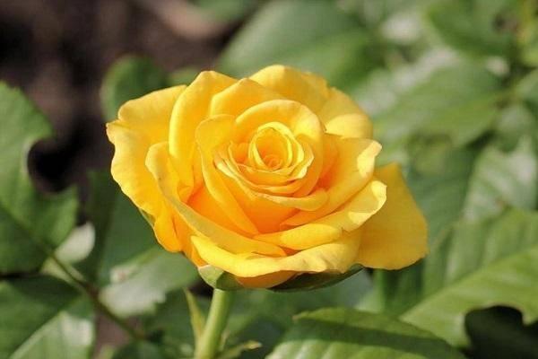 Роза керио (kerio)