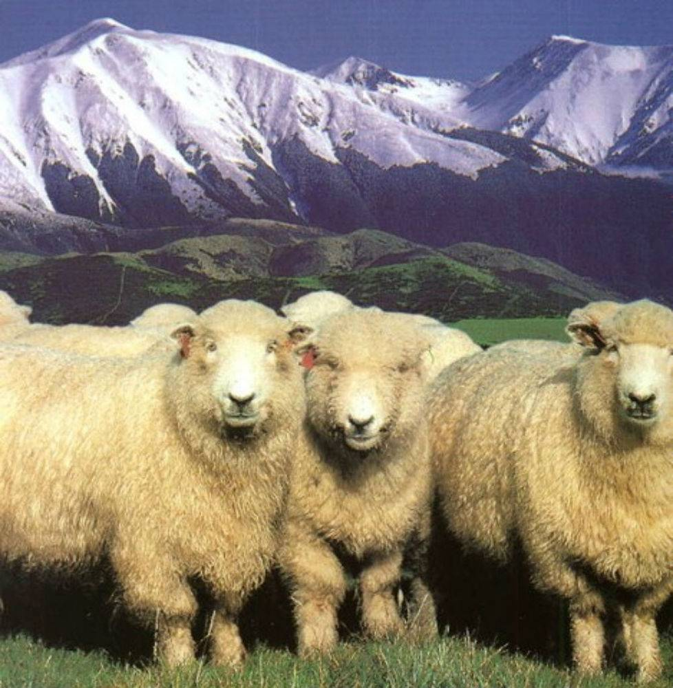 Содержание и размножение романовской породы овец: описываем обстоятельно