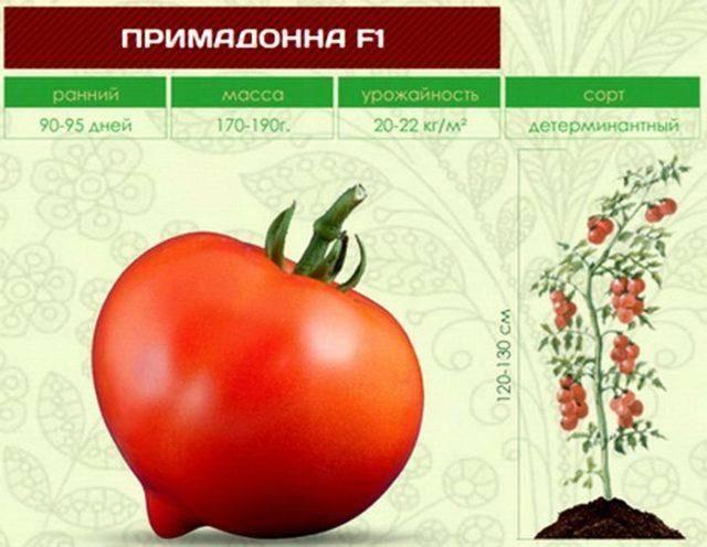 Характеристика и описание томата «примадонна»