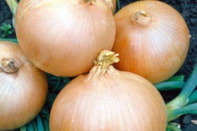 Описание сорта лука Кармен, особенности выращивания и ухода