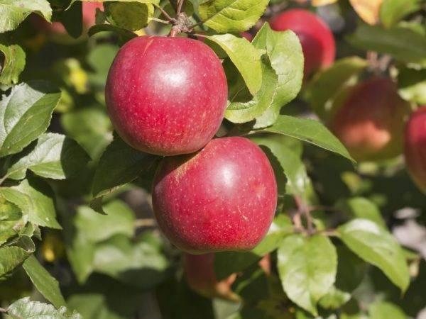 Яблоня сорта коваленковское — настоящее чудо белорусской селекции