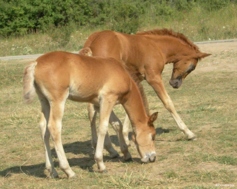 Как рожают лошади: спаривание, содержание беременной лошади и роды