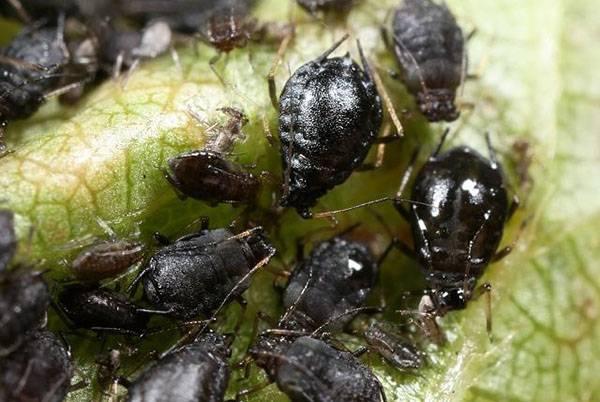 Фото с описанием вредителей вишни и методы борьбы с ними