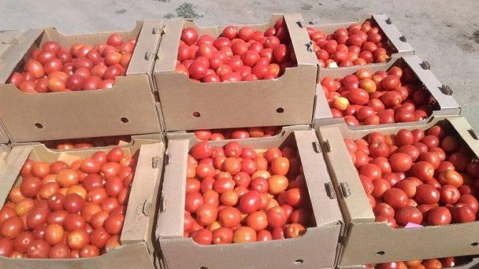 Описание и характеристика сорта томата Сливка медовая