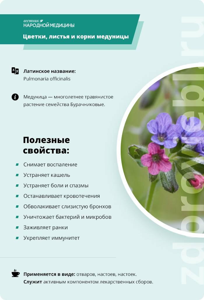 Трава медуница лечебные свойства и противопоказания