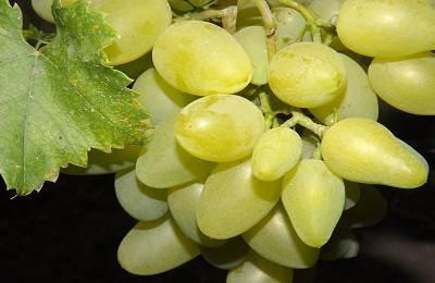 Сорт винограда «анюта» описание, отличия от «виктора»