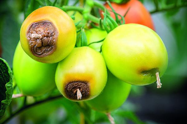 Вершинная гниль томатов и меры борьбы с ней