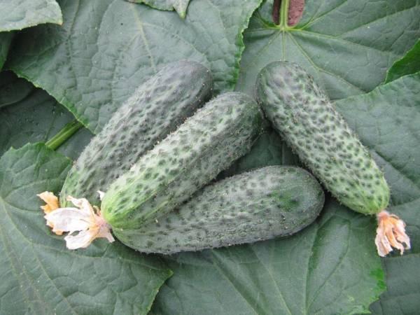 Описание сорта огурцов Беттина, особенности выращивания и урожайность