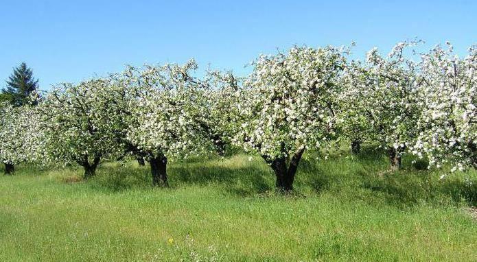 Как и чем заделать дупло в яблоне