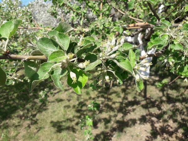 Почему яблоня плодоносит через год?
