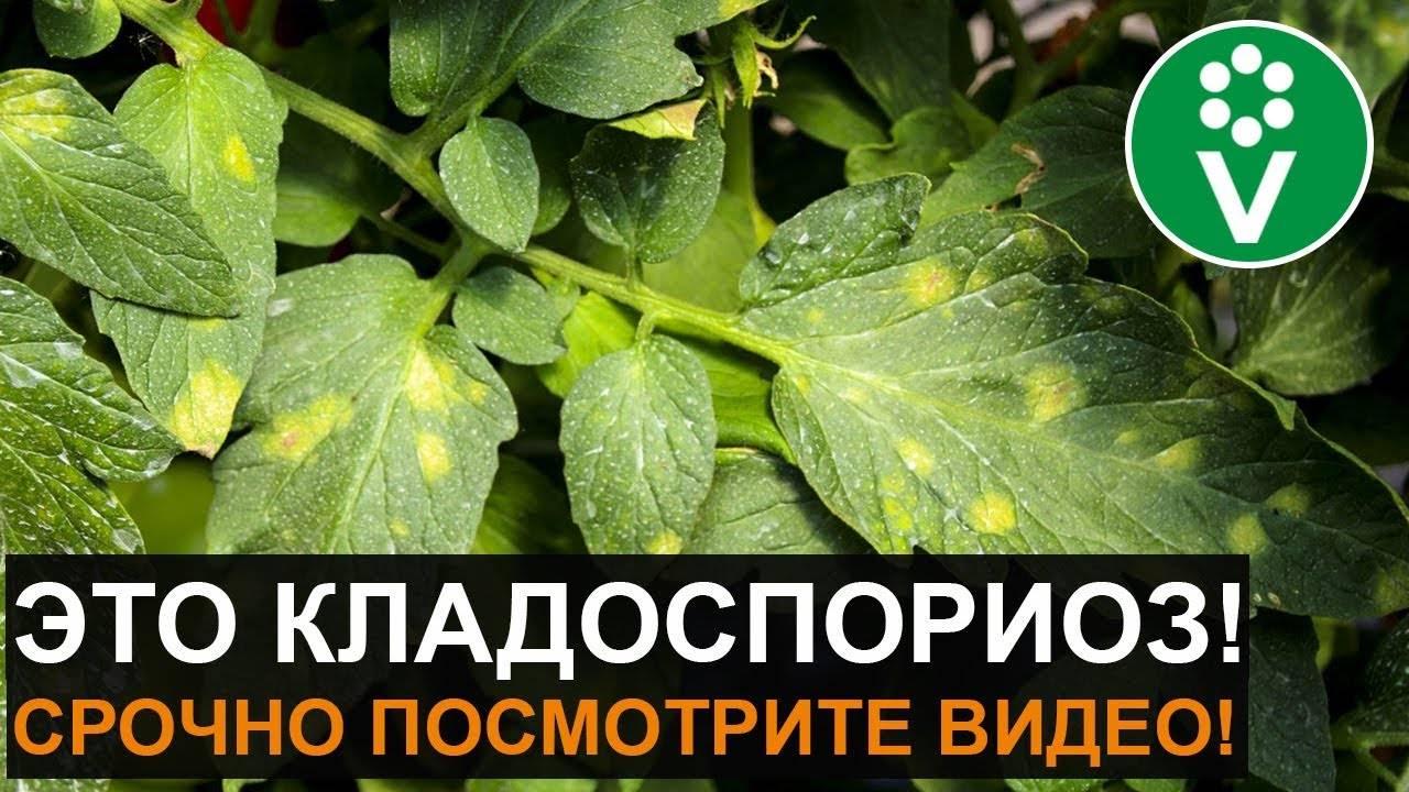 Кладоспориоз томатов: лечение, признаки, сорта с иммунитетом