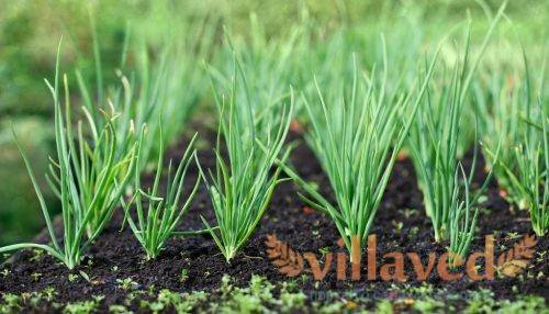 Подкормка лука и чеснока народными средствами и удобрениями для хорошего урожая