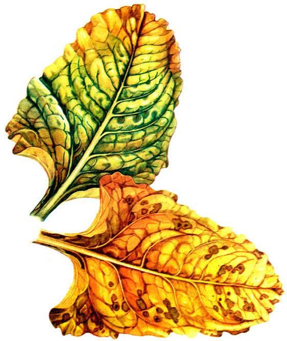 Что делать, если ботва стала бордовой? почему у свеклы краснеют листья?