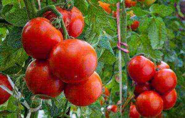 5 безрассадных сортов томата, которые очень быстро растут