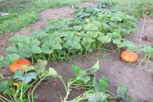 Технология выращивание и уход за тыквой