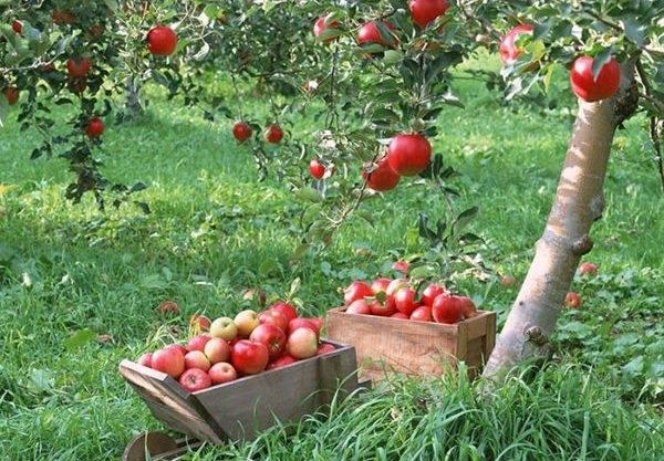 Белорусское сладкое — зимний сорт яблони