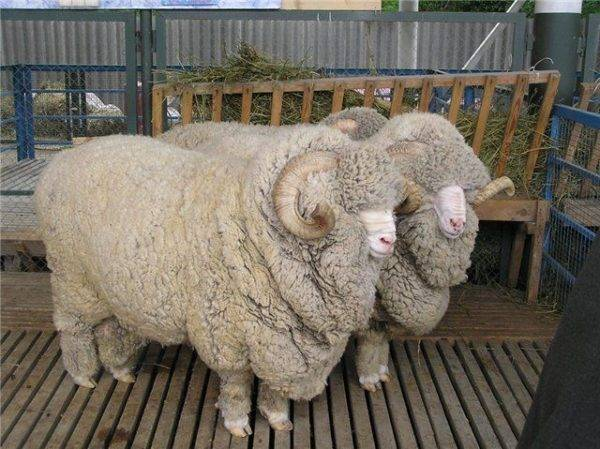 Как выбрать ножницы для стрижки овец и какую использовать технологию