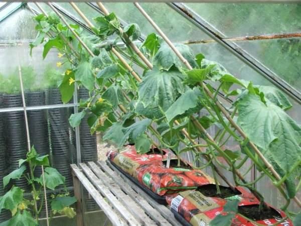 Правильная посадка огурцов в теплице для получения хорошего урожая