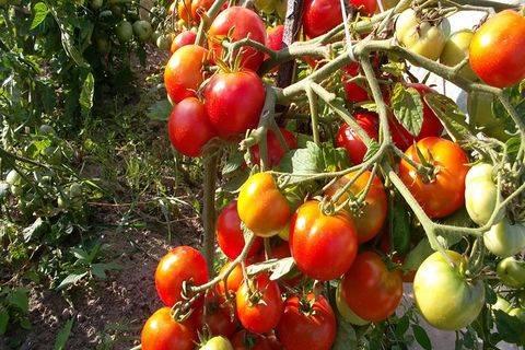 Томат «подснежник». описание сорта — характеристика урожайности и агротехника посадки, ухода и выращивания помидора (фото)