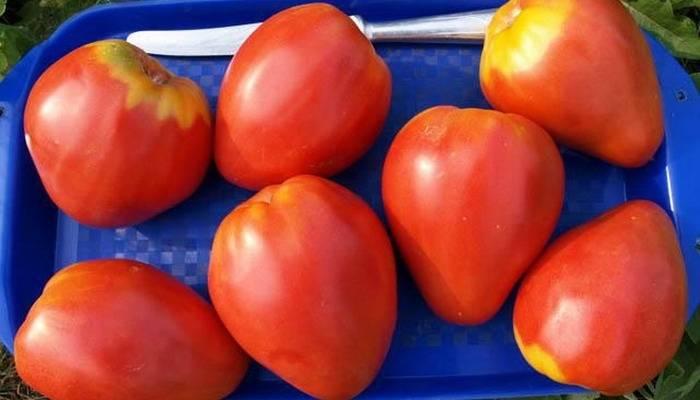 Сказочный помидор петруша огородник: без урожая не останетесь