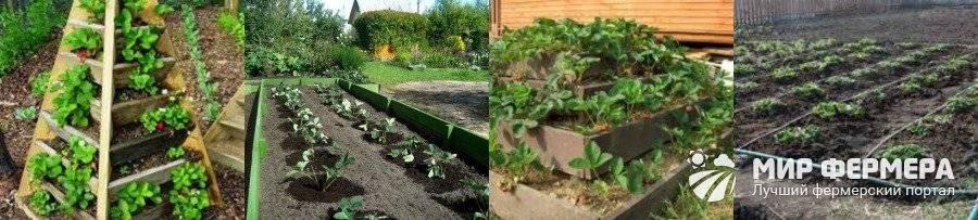 Клубника в теплице: важные аспекты выращивания