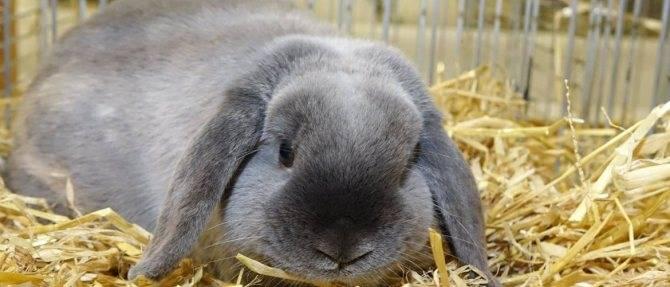 Характеристики кролика карликовый баран и правила его содержания