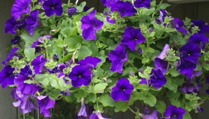 Петуния балконная и махровая (petunia): уход, выращивание рассады