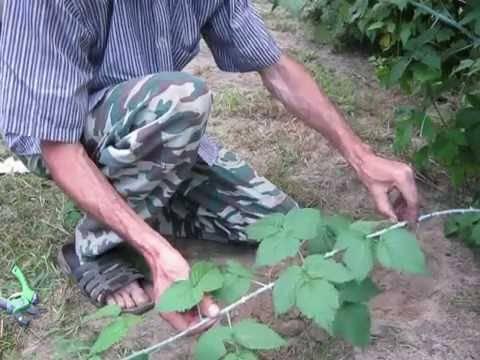 Размножение малины: 6 лучших способов
