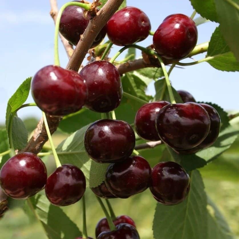 Самоплодные вишни: достоинства и недостатки, сорта для регионов с разным климатом