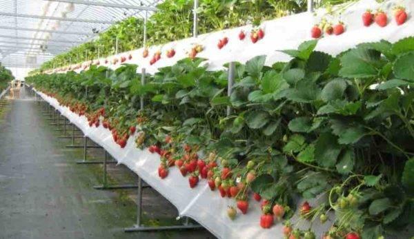 Интенсивный способ выращивания земляники