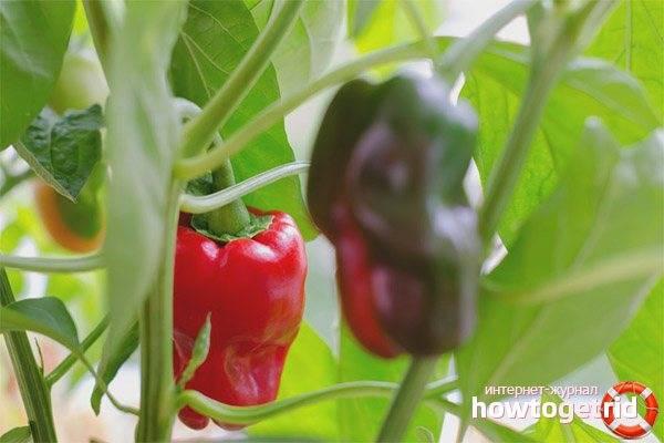 Посадка и выращивание сладкого перца калифорнийское чудо