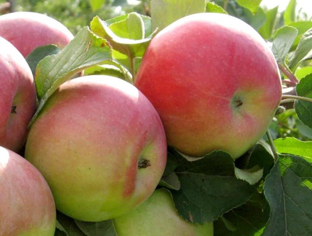 Описание сорта яблонь Родниковая, урожайность и выращивание