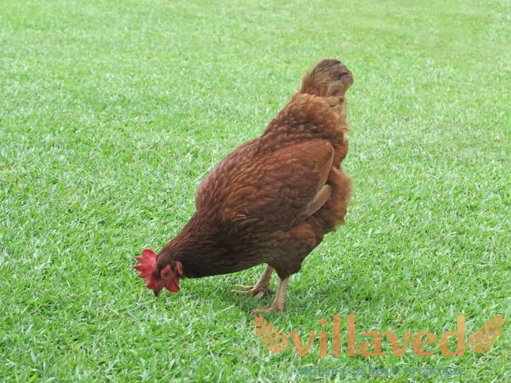 Голландский яичный кросс — куры шейвер