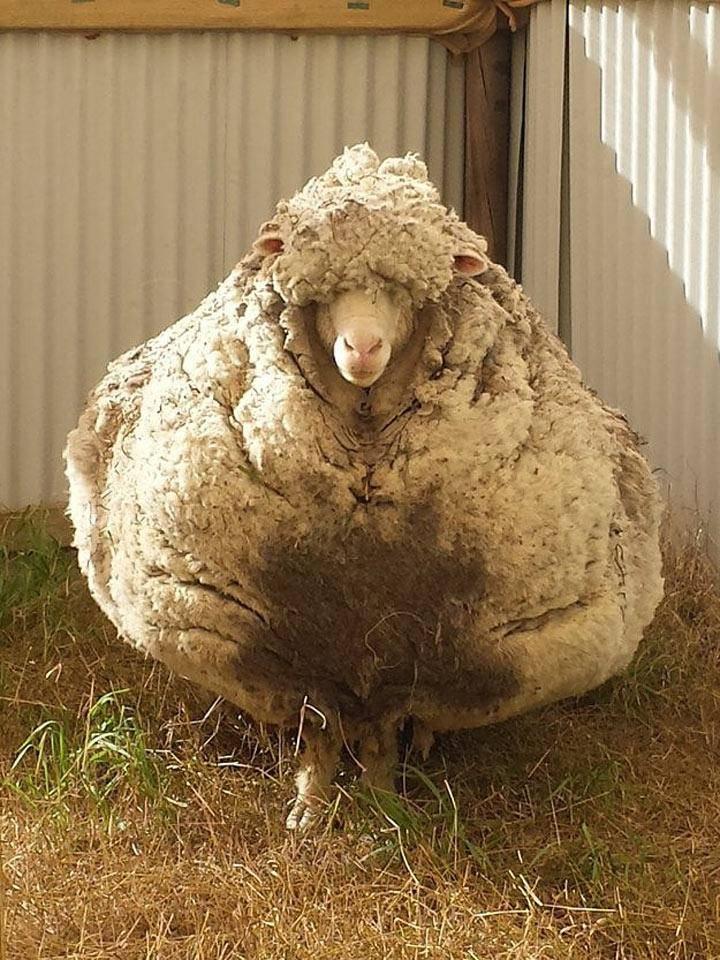 Разведение овец на мясо