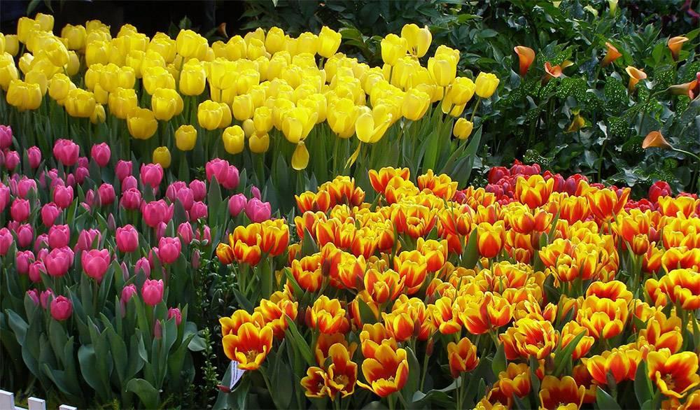 Лучшие сорта тюльпанов с фото и описанием