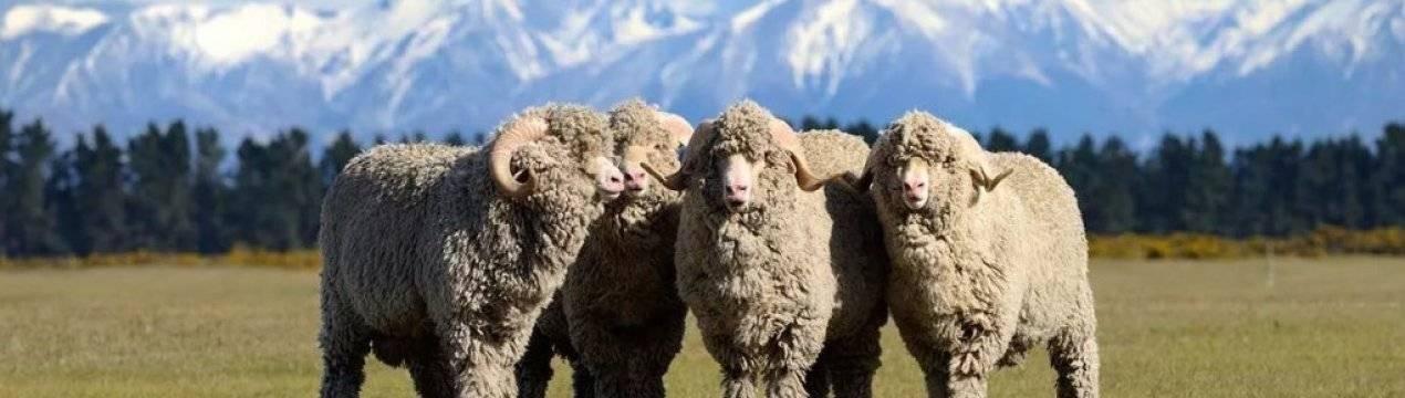 Кавказская и северокавказская породы овец: описание и характеристики