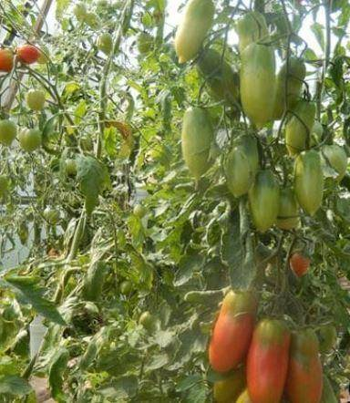 Томат ильич f1 — описание сорта, урожайность, фото и отзывы садоводов
