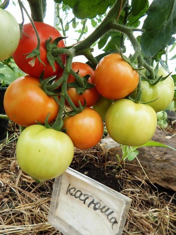 Описание яркого томата паленка, выращивание рассады и уход за гибридом
