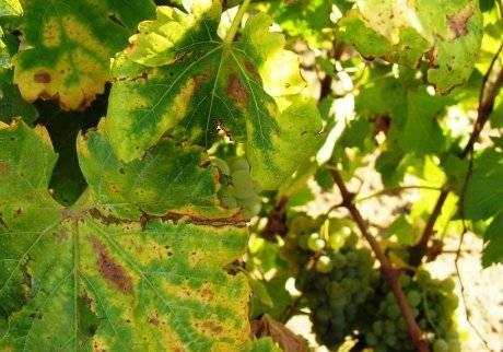 Почему желтеют и сохнут листья у винограда, что делать и чем обработать